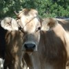 """Fiction: """"Muse Bovine"""" by Terry Faust"""